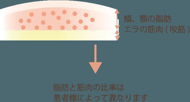 顔の脂肪と筋肉の比率